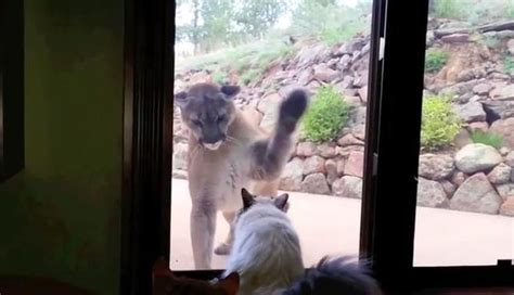 Curious Mountain Lion Tries To Meet Little House Cat - The