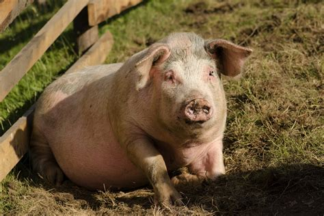 Romanian Culture #4: Ignat, the holiday of the pigs